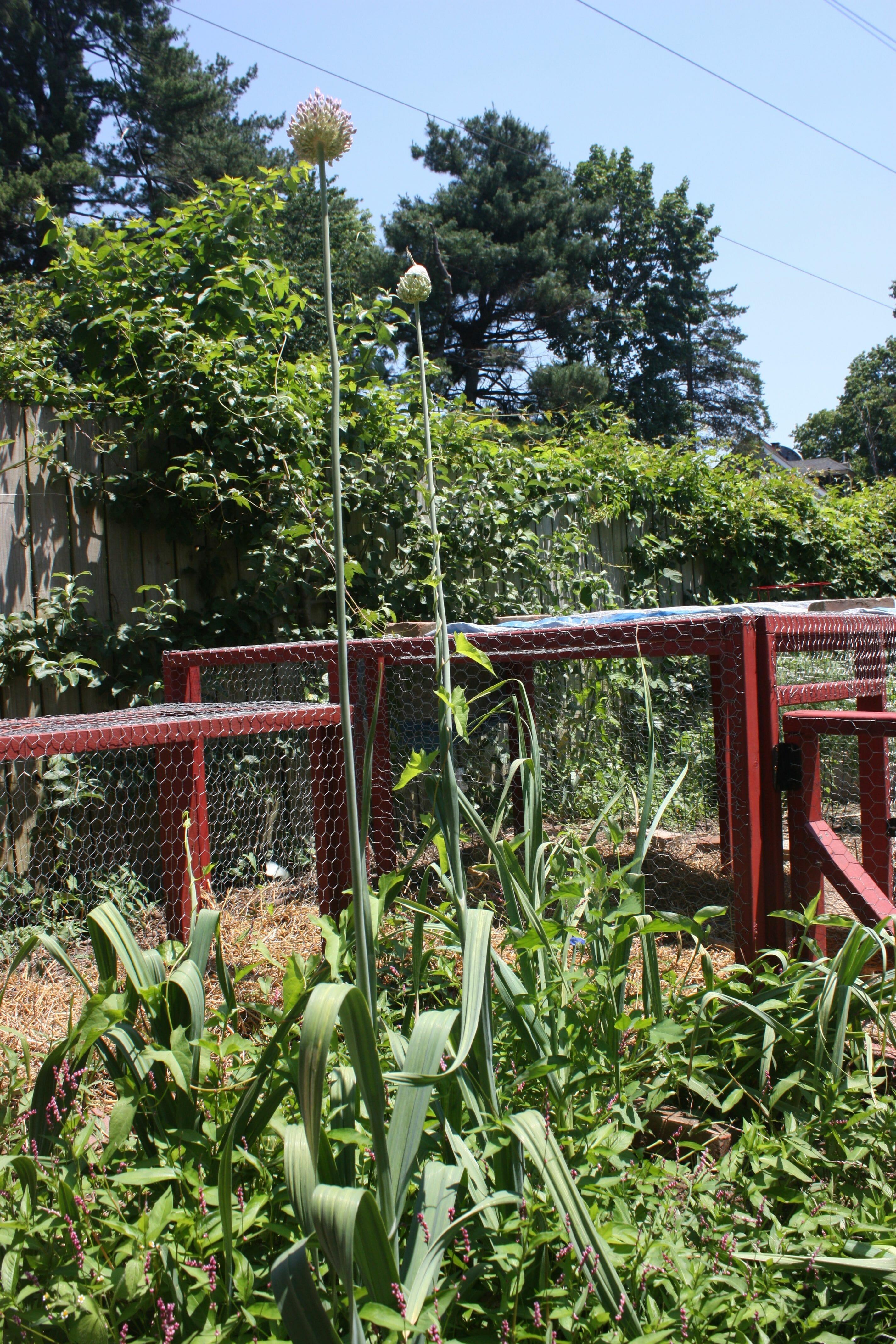 How to Chicken-Proof Your Garden - Modern Farmer