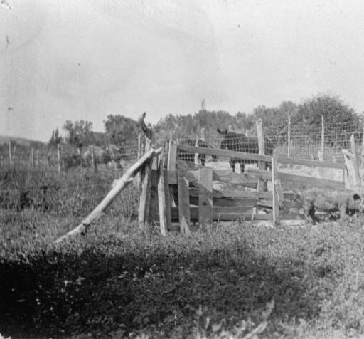 ALfalfa Pig New Mexico 1912
