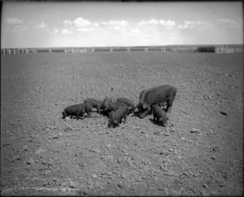 COlorado pigs