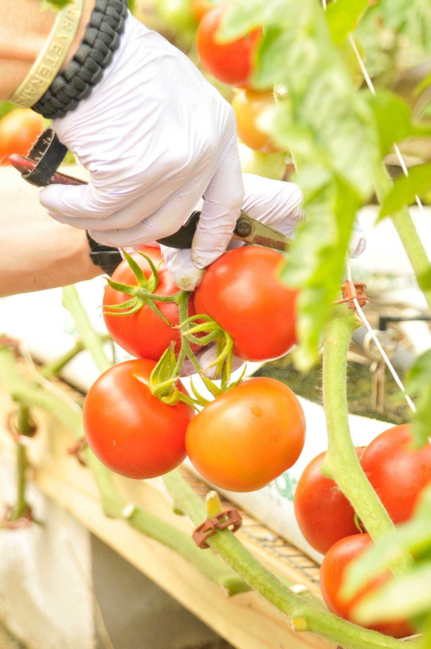 Harvesting delicious tomatoes