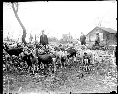 Goat Nurses