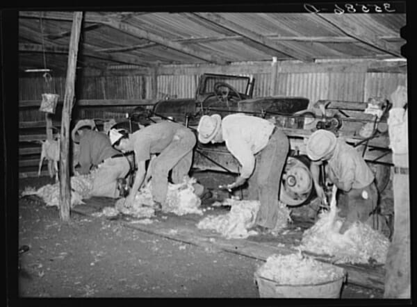Car-powered goat shearing in Kimball County, Texas. Workers were paid seven cents a goat.