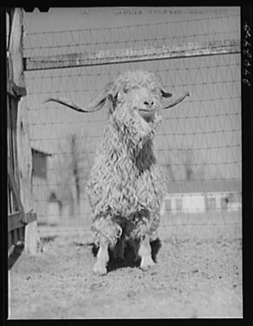 Texan Goat