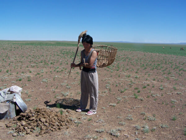 Battsetseg harvests camel dung.