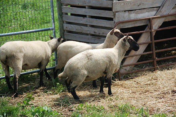 Apprehensive sheep at a herding demonstration at Two Coves Farm
