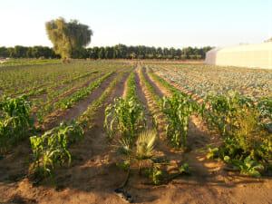 Organic farm in Abu Dhabi.