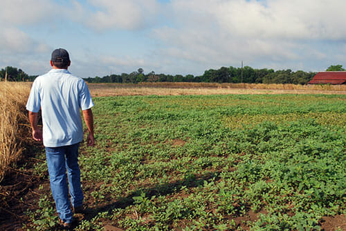 Stanley Culpepper walks through an experimental field of cotton overrun with pigweed.