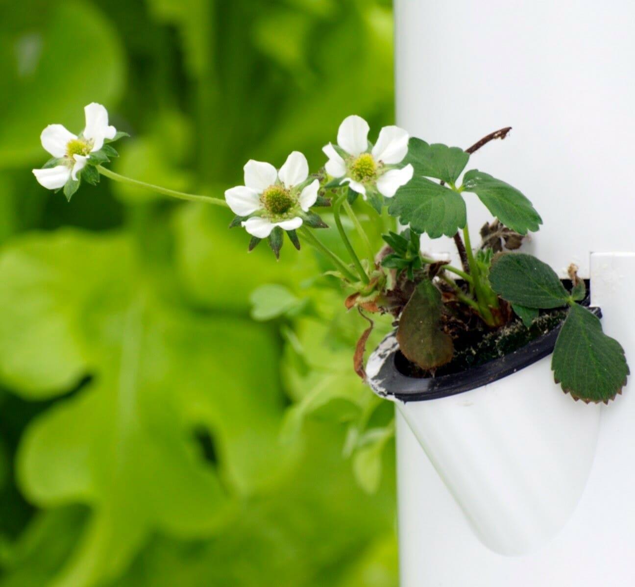 Strawberries start to flower
