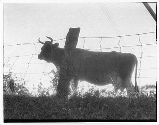 A fine cow