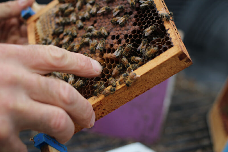 Critchell's honeybees are his livelihood. He has been raising bees organically for over 30 years.