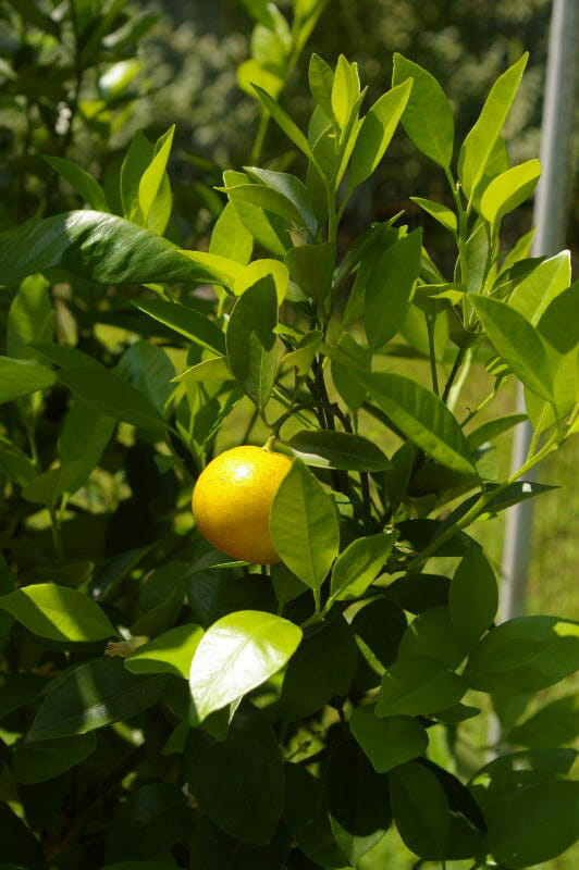 calamondin-small