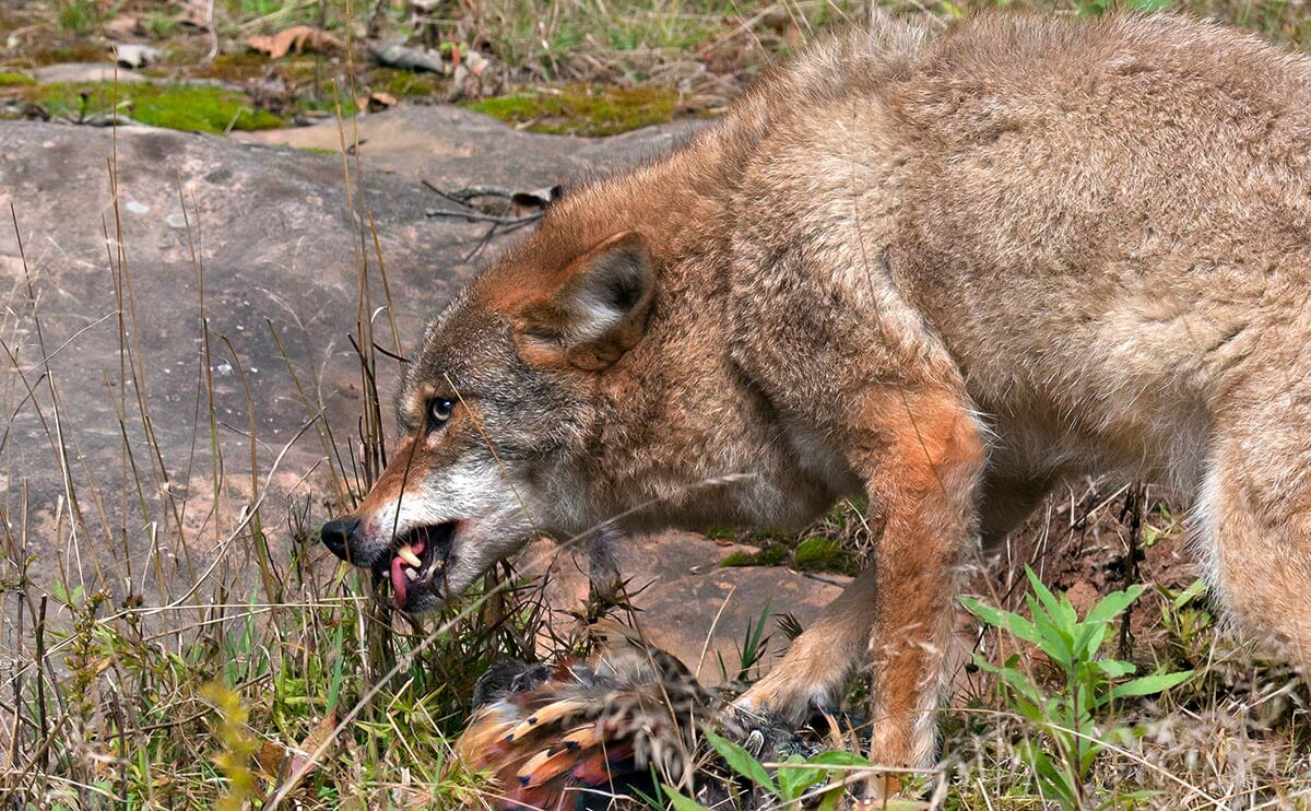 Killer Coyotes Can Shepherds Protect Their Flocks