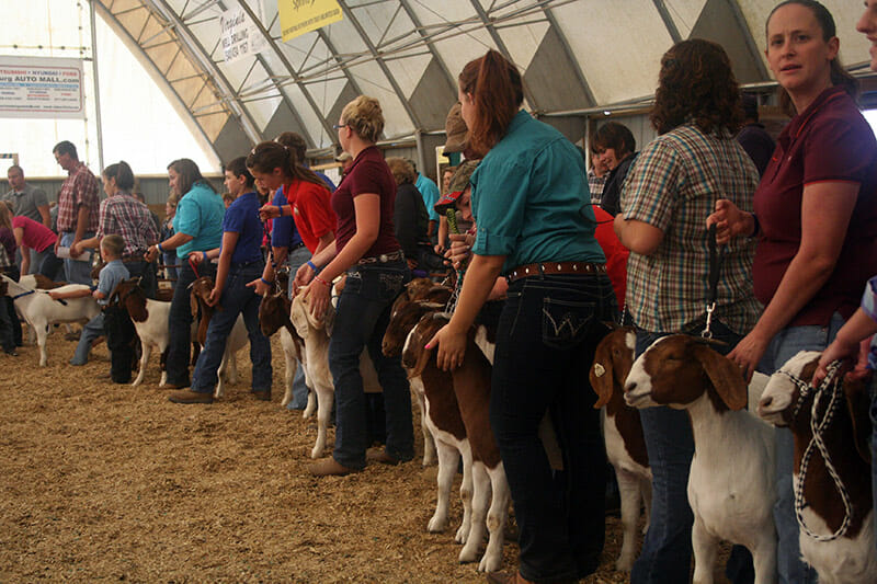 They've got their goats in a row at Rockingham County Fair's open goat show.