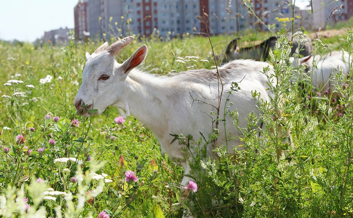 Dear Modern Farmer: How Do I Legally Raise Goats in the City