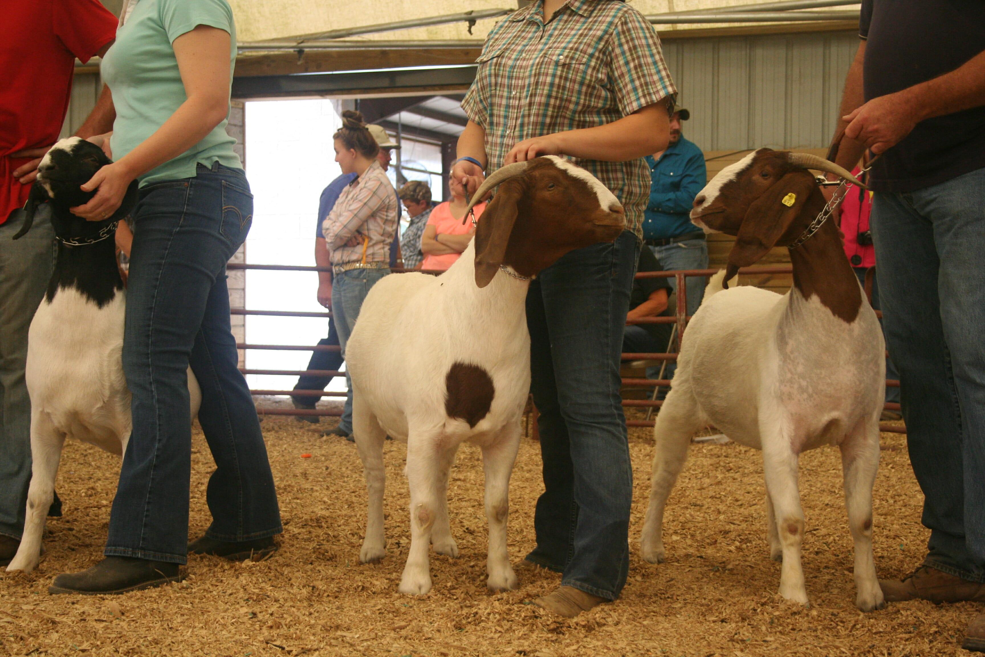 Diary of a State Fair Goat - Modern Farmer