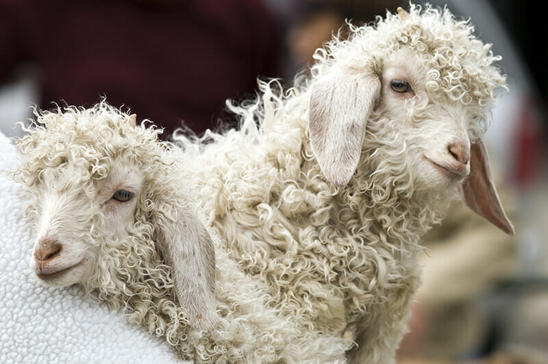 Gratuitous pictures of baby Angora goats, like the kind Provenza studied.