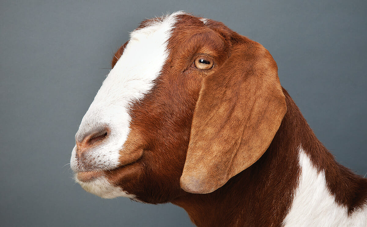 Which Goat Is Right for You? - Modern Farmer