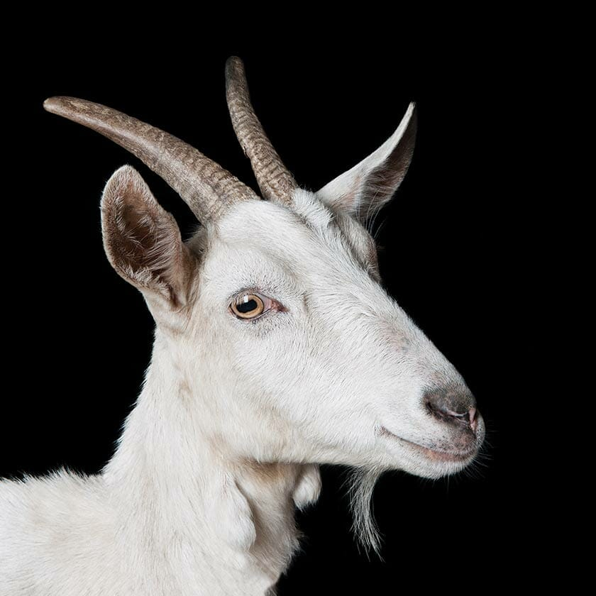 Which Goat Is Right For You Modern Farmer