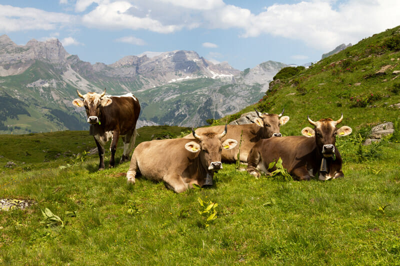 Alpine cows resting in the countryside. Cowbells have practical applications, but at this point also complete the picture of pastoral idyll.