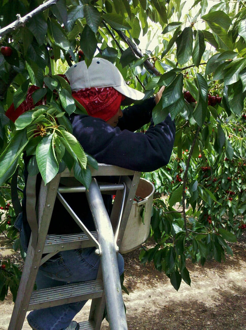 Harvesting cherries in Fresno County in 2010.