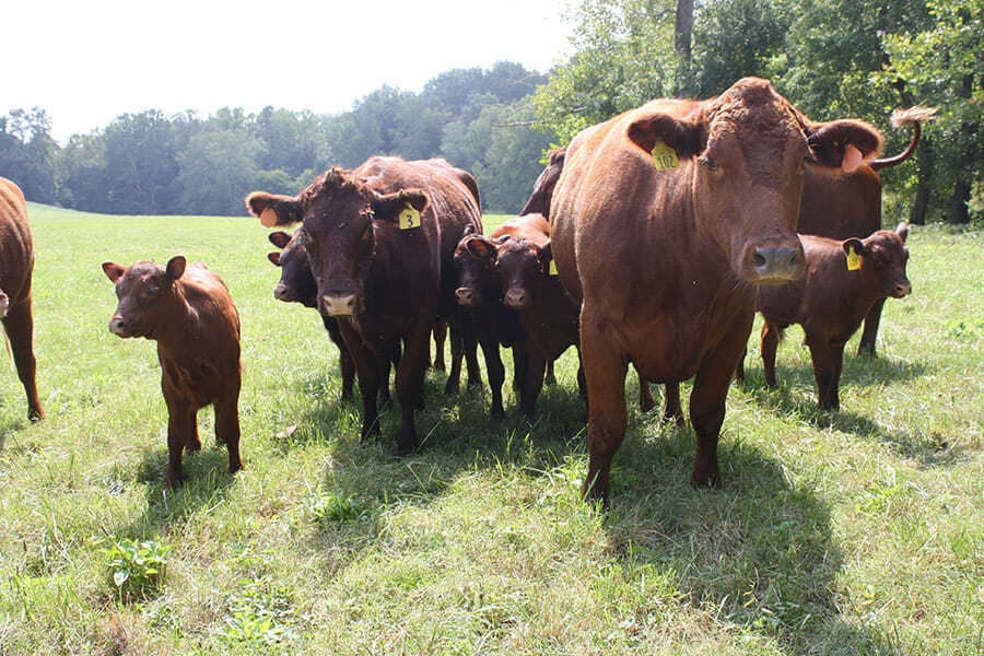 Red poll heifers and calves.