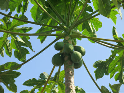 Big Island papayas.