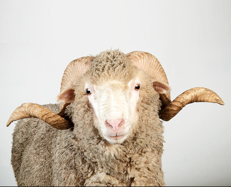 The Delaine Merino, one the more popular fine-wool sheep.