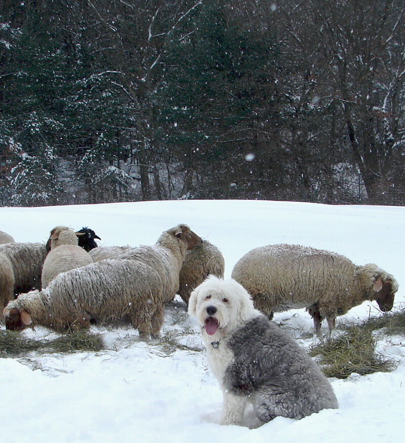 A Farmer's Best Friend: The Old English Sheepdog - Modern Farmer