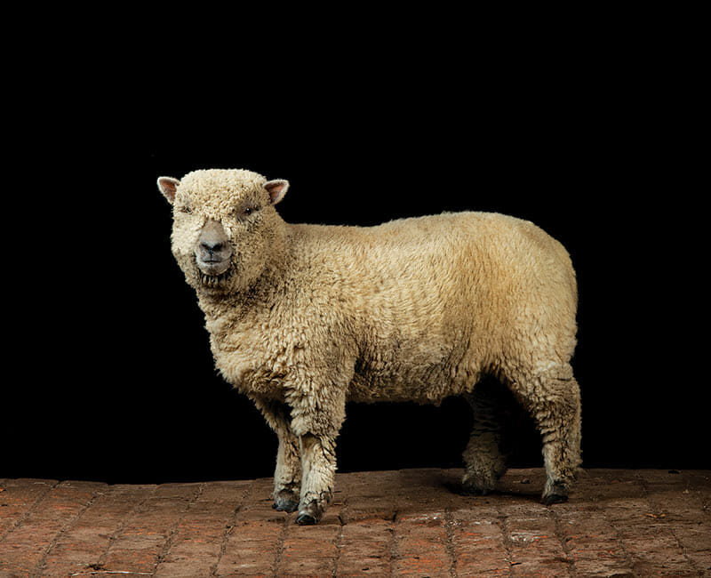 Sheep like the Southdown offers a mixture of both wool and meat production.