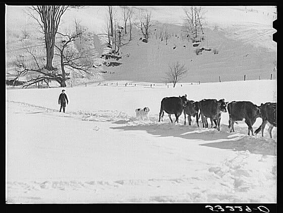 cow-snow