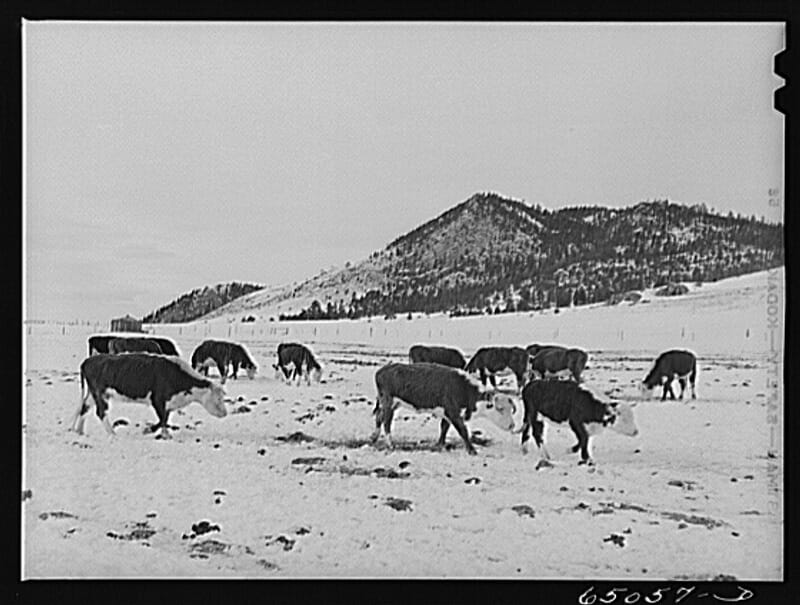 Lewis and Clark County, Montana. Winter feedlot. Photographer: John Vachon, ca. March 1942.