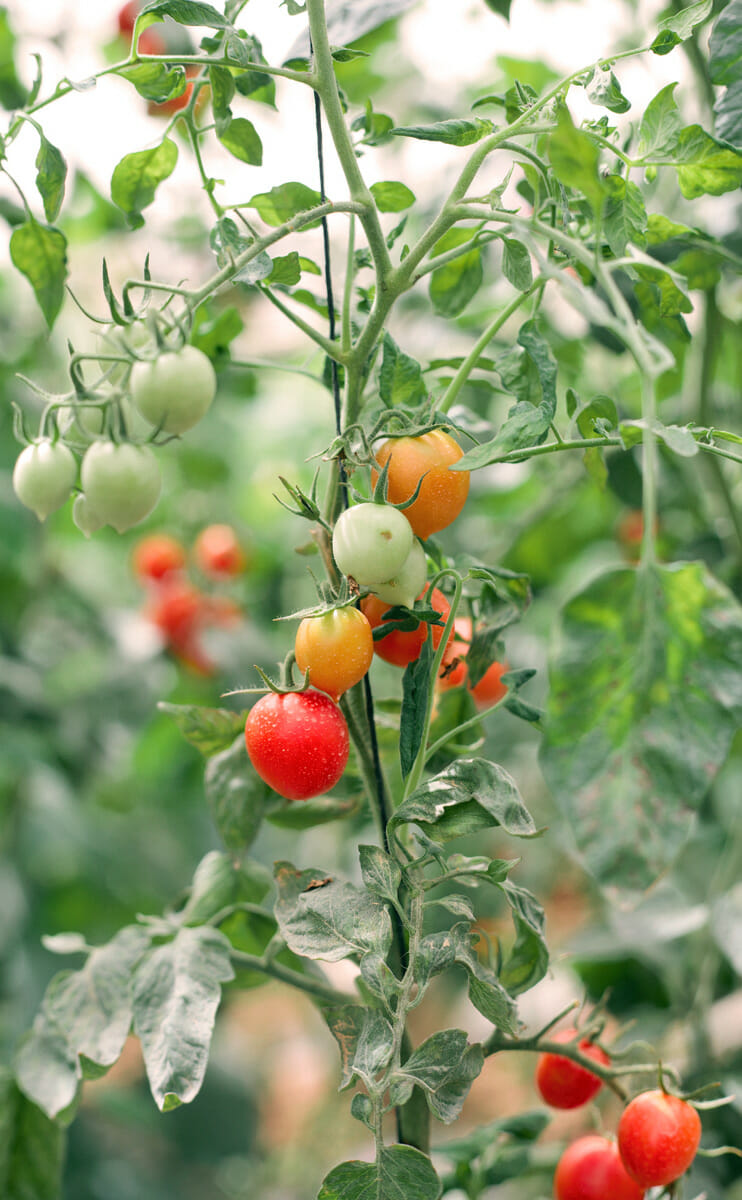 Tomatoes in the greenhouse.