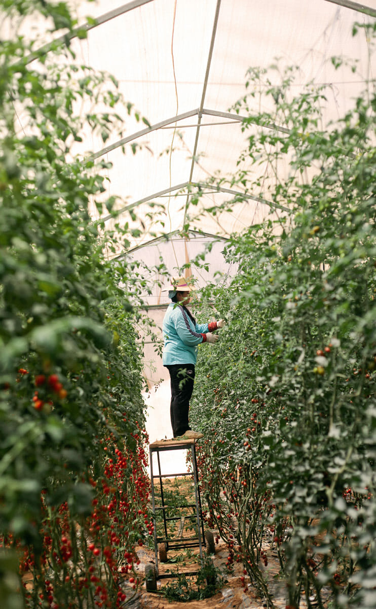 An employee harvesting tomatoes.