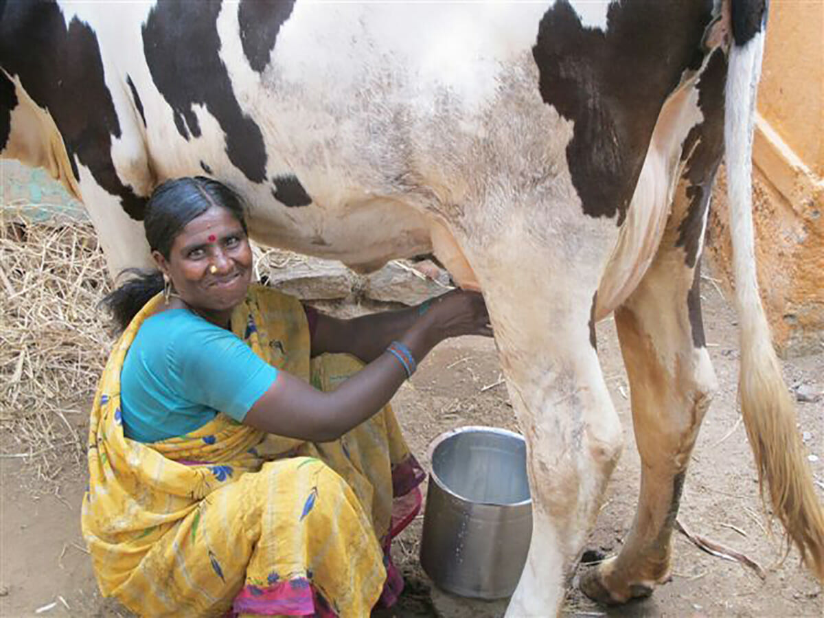 Farmer milking cow.