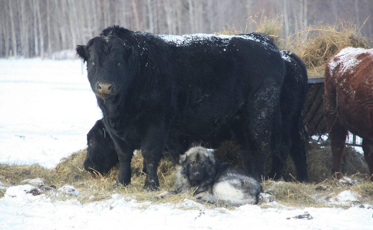A dog sitting in the snow with its Bull friends.