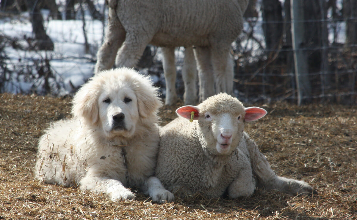 A dog and a its sheep friend.