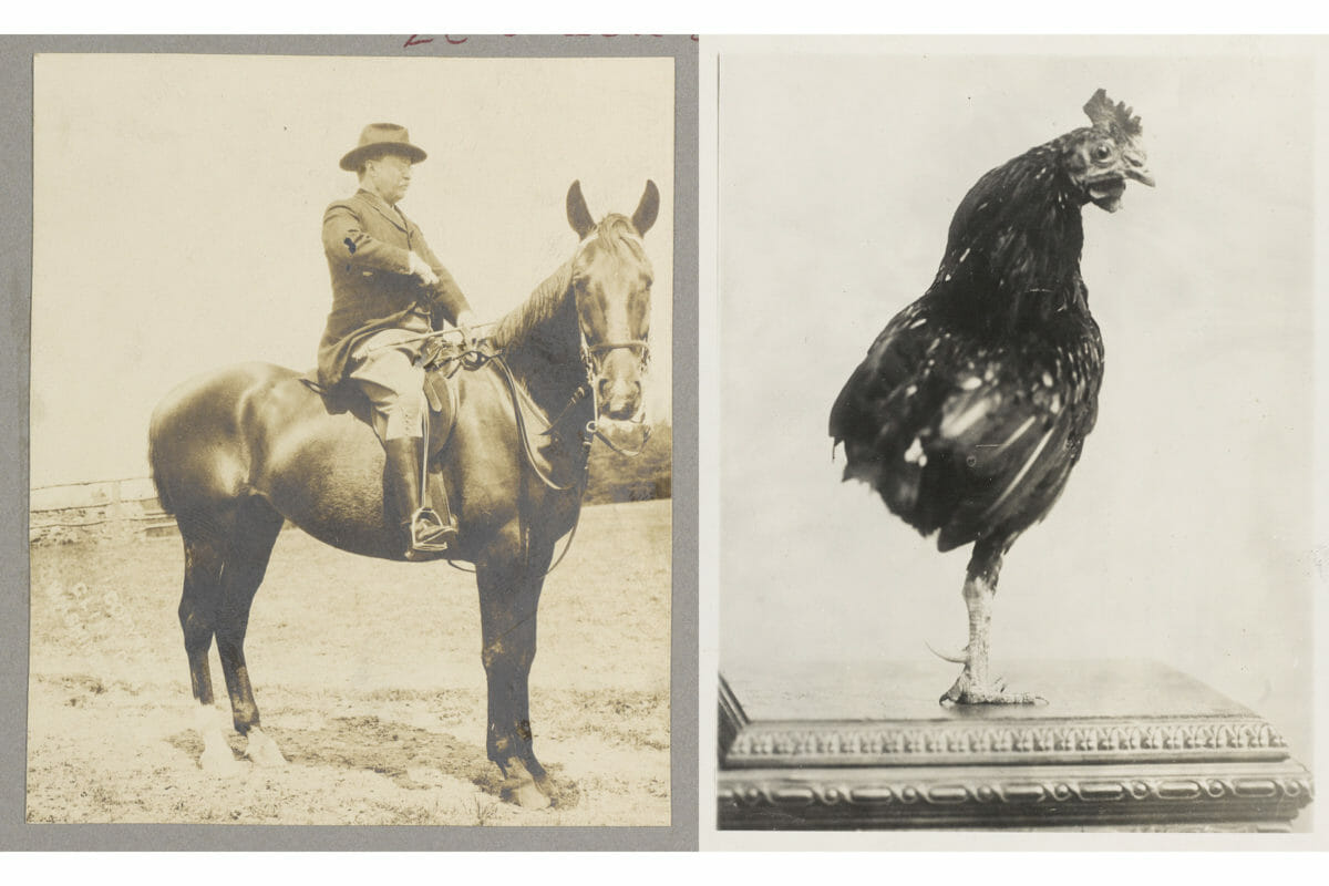Theodore Roosevelt on horseback, ca. 1909, along with his one-legged pet rooster, ca. 1910.