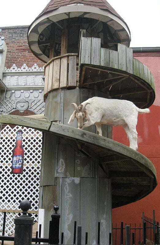 A goat on its way to getting a good view of the bar. Photo by Allison Meier.