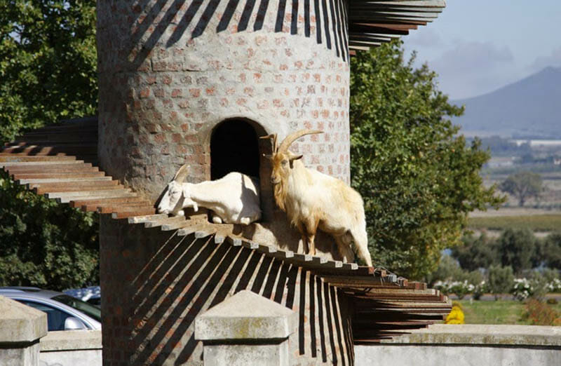 Cubbyholes give goats the chance for a break at Fairview. Photo by Peter Borcherds.