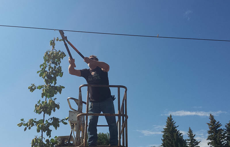 Brewer Steve Fletcher clipping the trellis at harvest time. Photo courtesy of AC Golden.