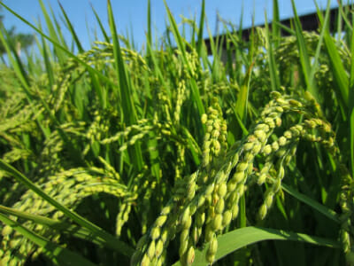Rice plants in growth