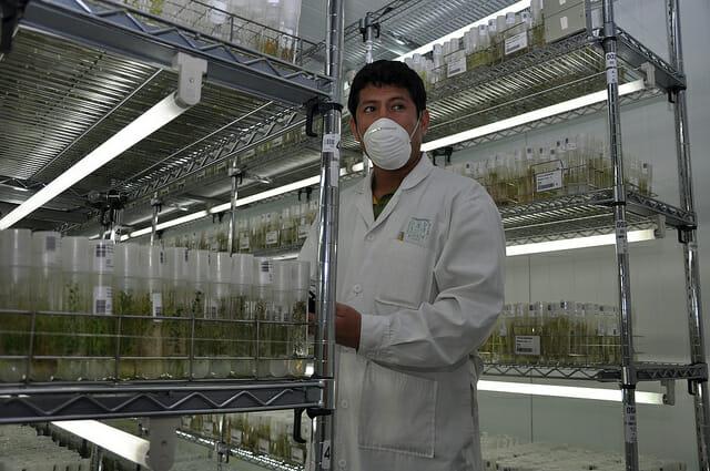 A genebank worker at the International Potato Center. / Cary Fowler/Global Crop Diversity Trust