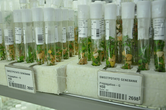 Samples of sweet potatoes in test tubes. / Cary Fowler/Global Crop Diversity Trust