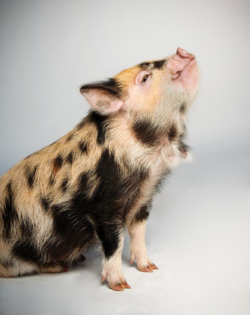 Which Pig: Find Your Next Pig Thing - Modern Farmer