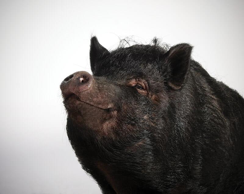 Vietnamese-Pot-Bellied-Pig_Modern-Farmer_Richard-Bailey-2