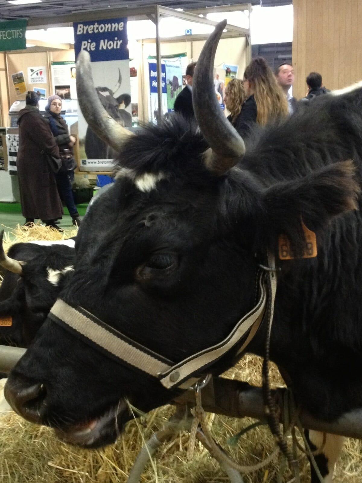 cow-10-BretonnePieNoir