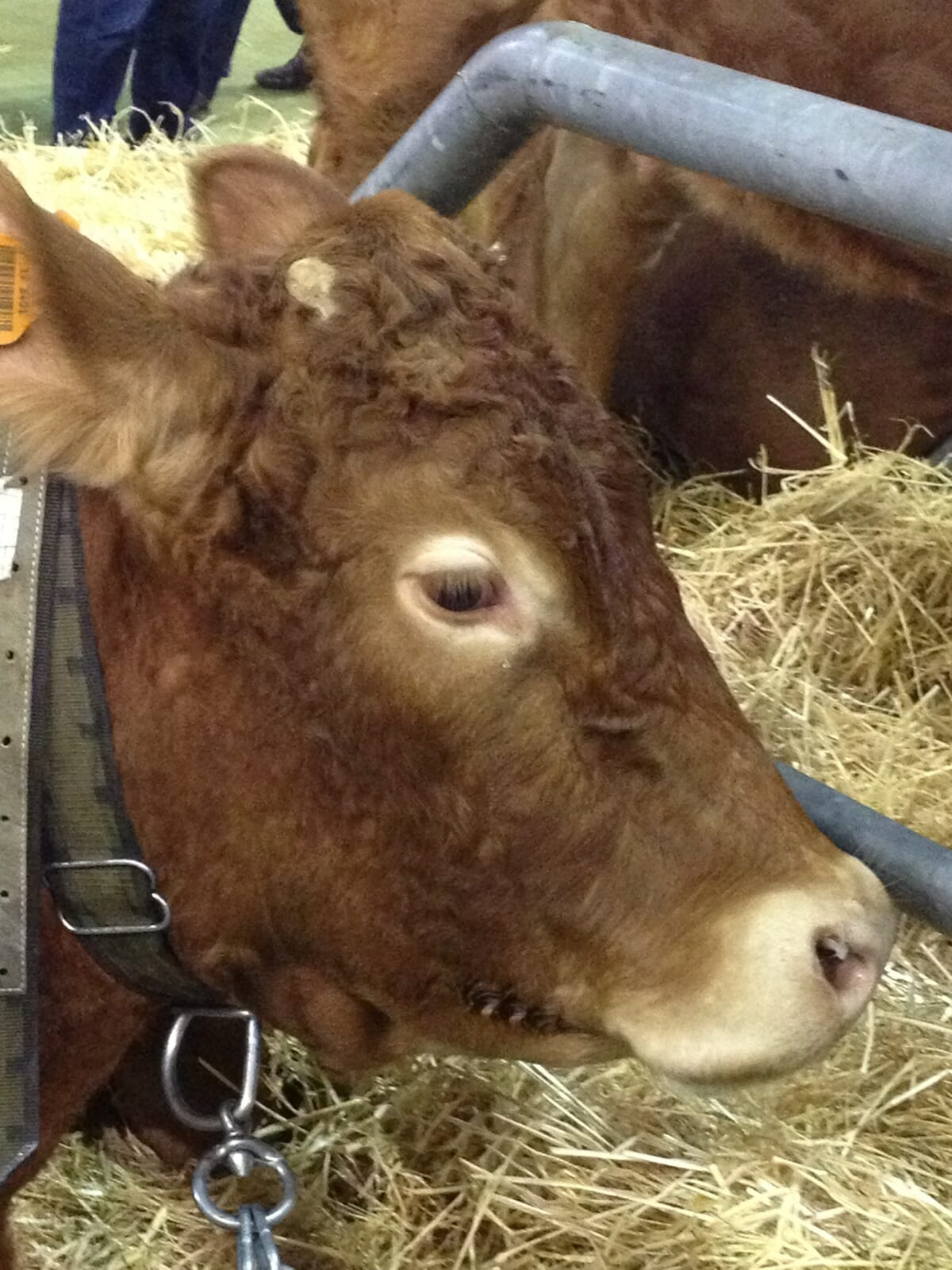 cow-3-Limousine