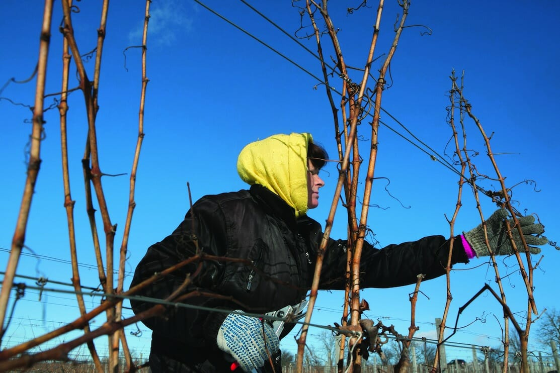 Larisa trims grapevines at the Château. Even though business is booming, uncertain weather can derail wine production.