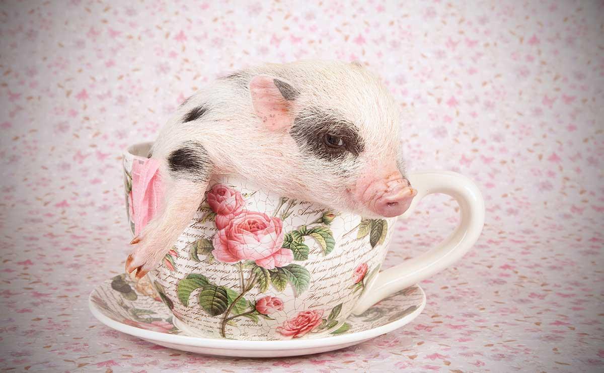 Never Buy a Teacup Pig