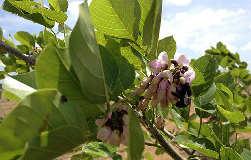 A two-year old pongamia tree flowering in Texas. Images courtesy of Terviva Inc.